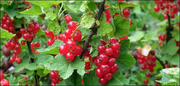 currants make great additions to food forest layer
