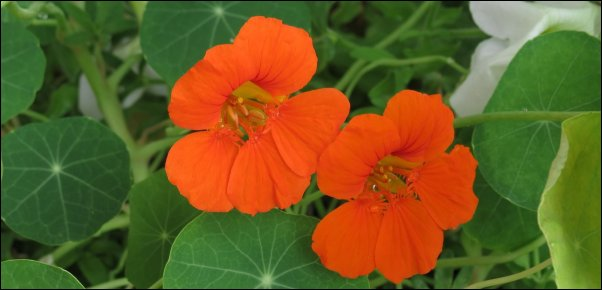 nasturtium make great additions to food forest layer