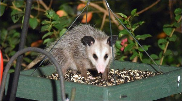 opossum-at-birdfeeder
