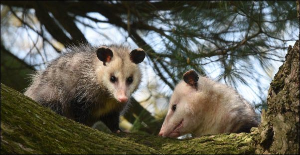 two opossums in a tree