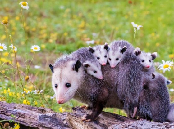 why-opossums-are-good-benefits-of-opossums homesteading