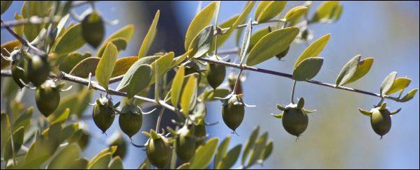 jojoba plant fruit