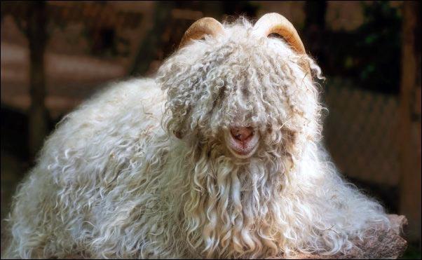 cashmere-goat-long-hair