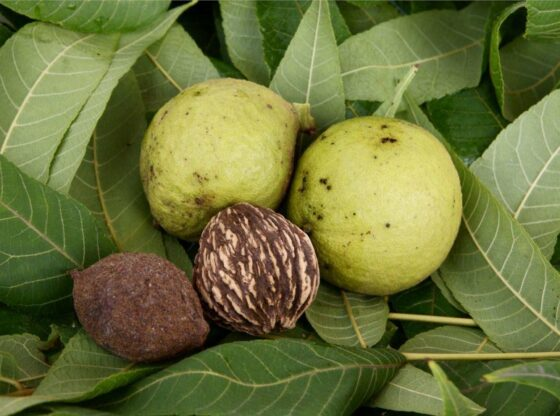 black walnuts in hull and out