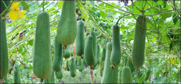 Sponge gourd hanging on vine to grow more food to learn How to Live Off Your Garden All Year Round