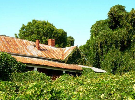 kudzu Managing Invasive Plant Species, Invasive species, Woodlot management, Herbicides
