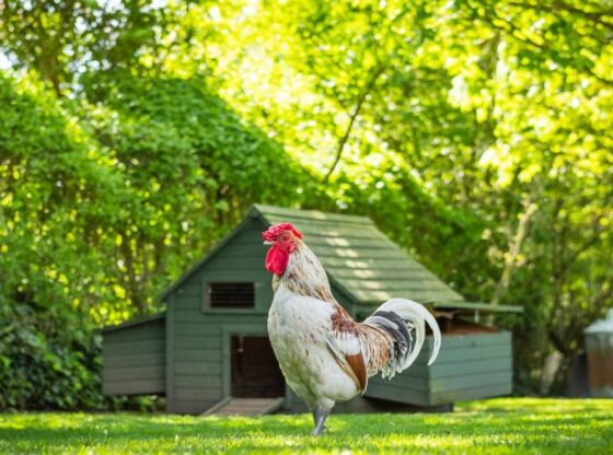 Guide to Building A Chicken Coop