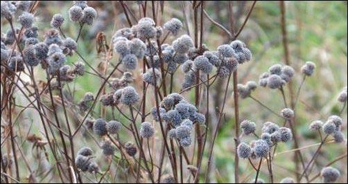 Bee balm in fall. seed heads