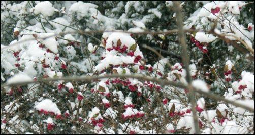 American beautyberry in winter landscape