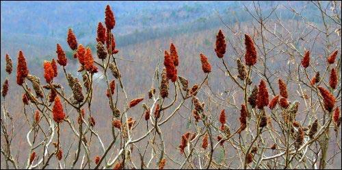 Staghorn sumac seed heads in fall