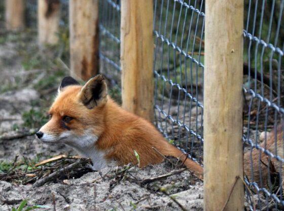 Coexisting with wildlife, Nuisance wildlife, Wildlife management fox