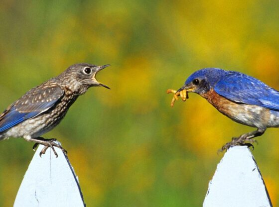 Wild Birds for Controlling Insects in the Garden