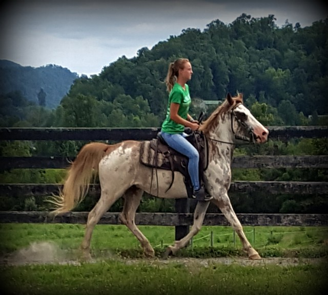 Flashy Gelding Suitable for Most Riders