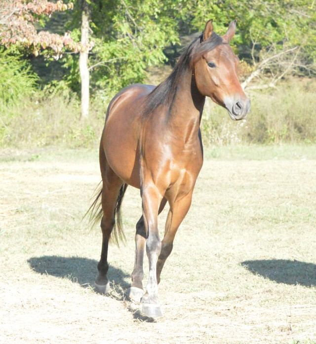 5 y/o QH / Arab Cross Bay Gelding