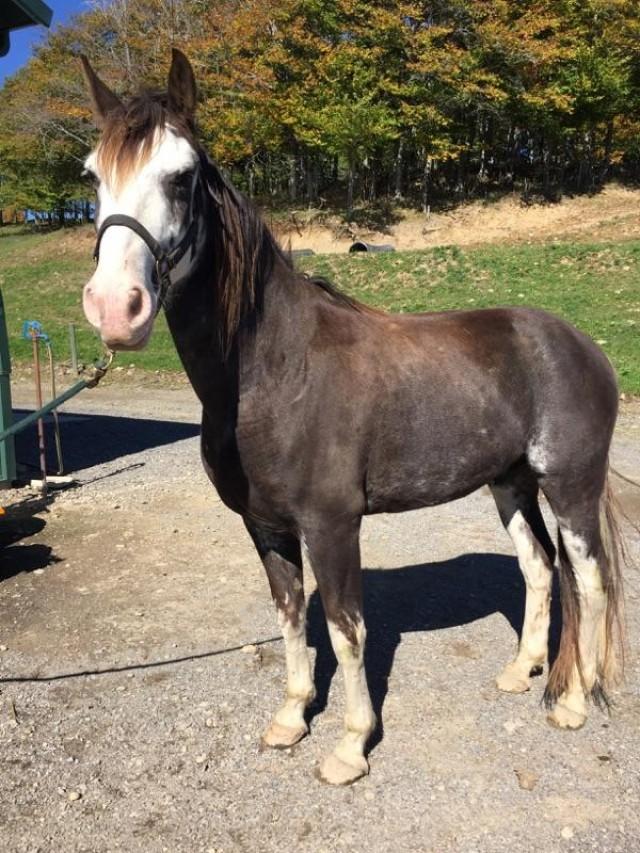 Calm, Dependable Trail Horse