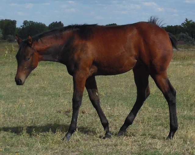 Shield H Quarter Horse