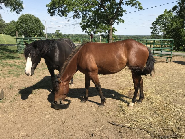 2 Year Old Bay Grade Quarter Horse Filly