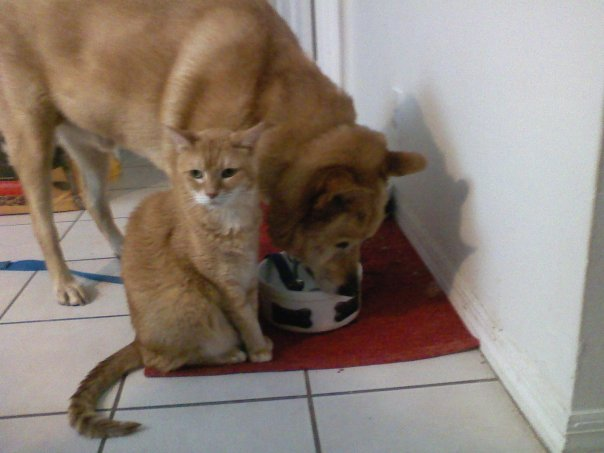 Dog drinking water out of his dog bowl with an orange cat sitting next to him