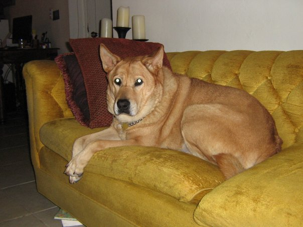 Large tan dog laying on a yellow velvet couch