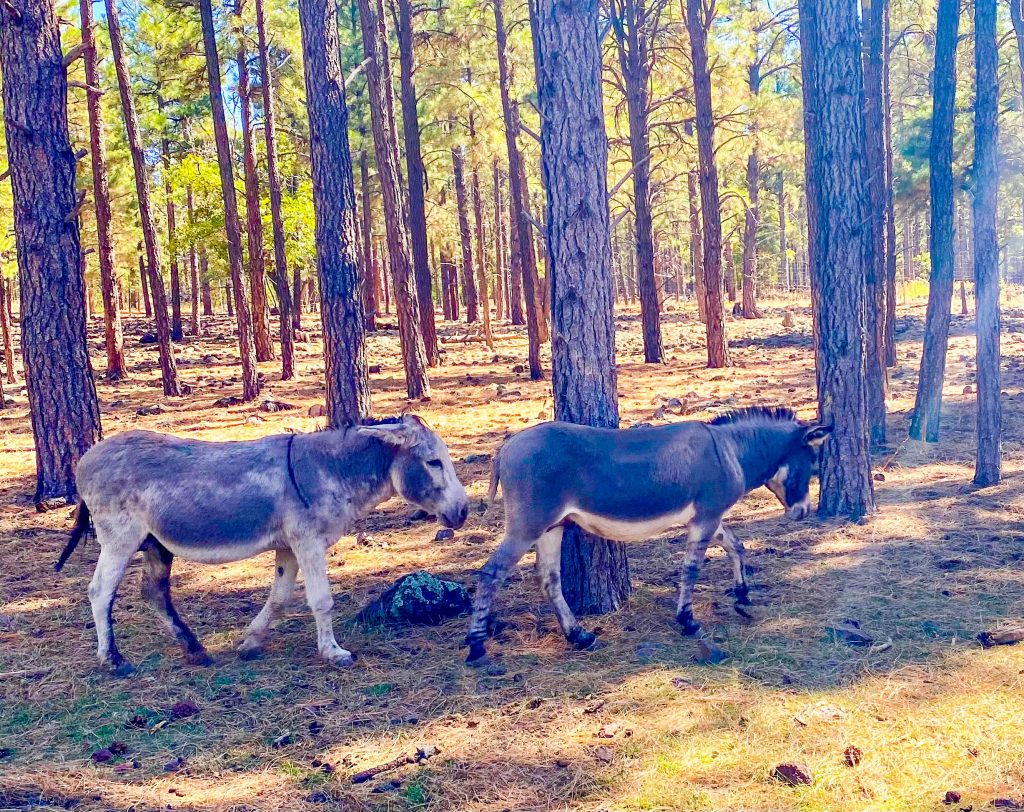 two donkeys walking in the forest