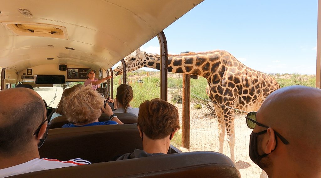 giraffe leaning into a bus