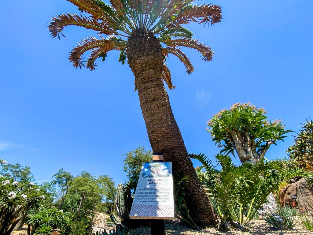 Albany Cycad at San Diego Zoo