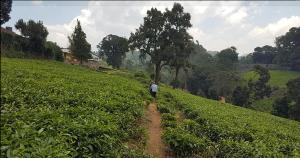 Land for sale Tigoni Limuru East Kiambu