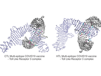 Graphical abstract: The designed CTL (Cytotoxic T lymphocyte) and HTL (Helper T lymphocyte) multi-epitope vaccines (MEV) against COVID19 infection. Both the CTL and HTL MEV models show a very stable and well fit conformational complex formation tendency with the Toll like receptor 3. CTL and HTL MEVs: cyan ribbon; Toll like receptor 3: gray ribbon; CTL and HTL residues: cyan; TLR3 residues: magenta.