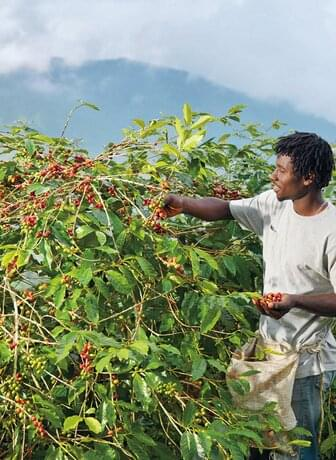 Coffee Harvesting