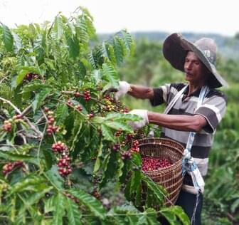 man farming coffee