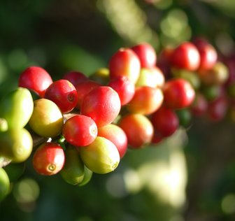 First Harvest of F1 Hybrids Ushers in Exciting New Era for Coffee Supply Chain