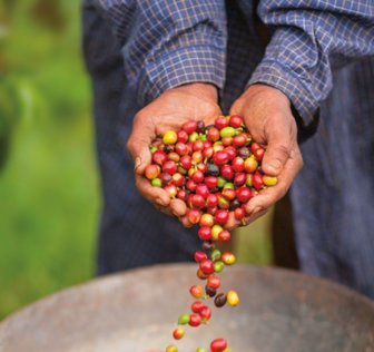 Supporting a Better Coffee Harvest