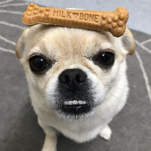 small chihuahua mix with Milk-Bone Brushing Chews balanced on its head