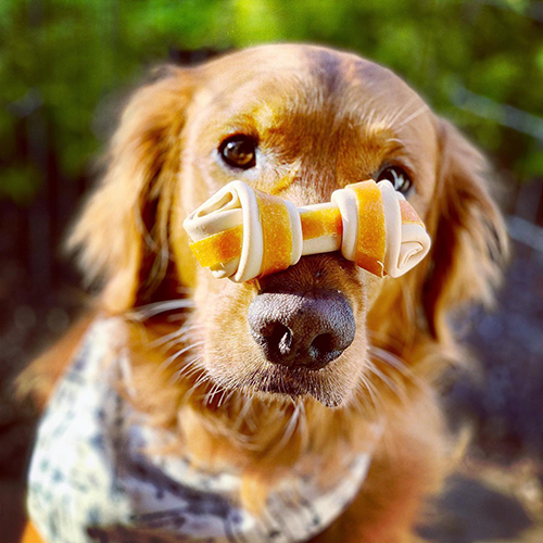 golden retriever with Milk-Bone GnawBones balanced on its nose