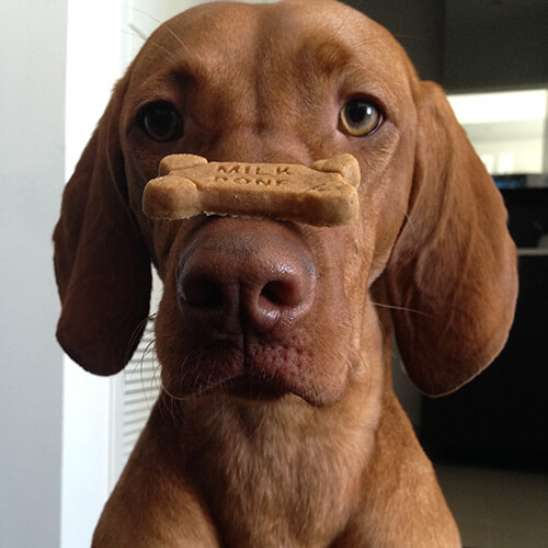 dog balancing milk-bone on nose