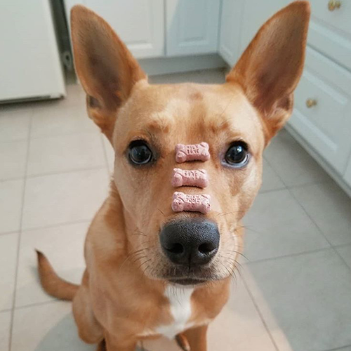 brown dog balancing three Milk-Bone mini biscuits on its nose