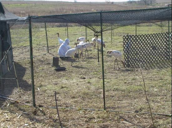 Young Whooping cranes in their travel pen on a no-fly day.