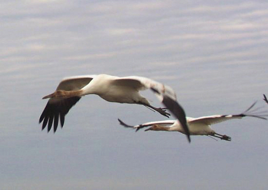 Young Whooping cranes on their first journey south