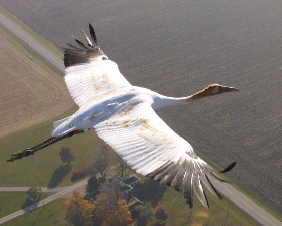 Whooping Cranes off to a Good Start