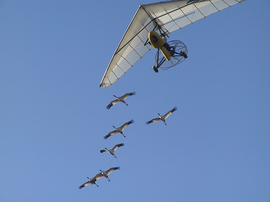 Whooping Cranes Following Operation Migration Ultralight Plane