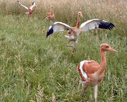 Baby cranes running