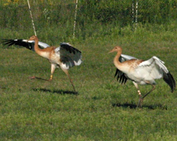 Young cranes in pre-flight stage