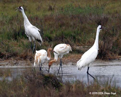Adult Whooping cranes with their twins on the Texas wintering grounds