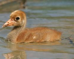Baby crane in pool