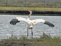 Young crane stretches its wings in a dance.