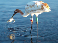 Young Whooping crane nabs a blue crab to eat.
