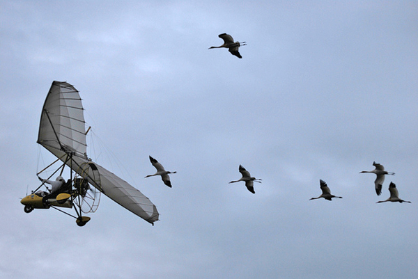 Whooping Crane Migration, Fall 2013