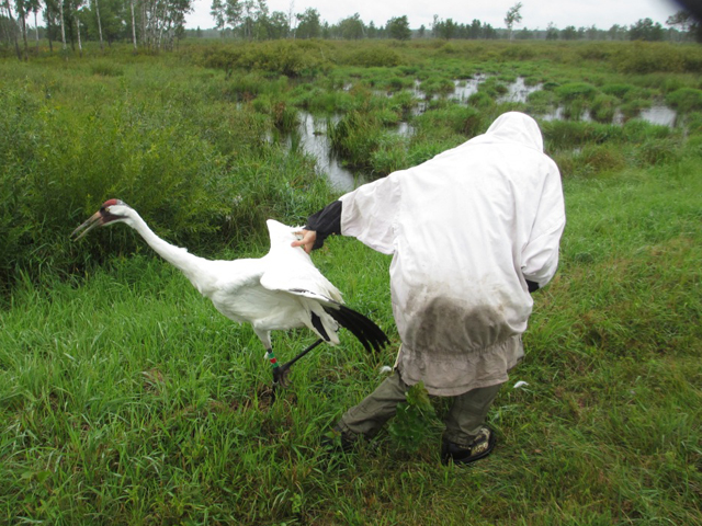 Crane #1-10's release after getting a new transmitter/colors on September 12, 2014