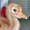 Crane chick #17-10