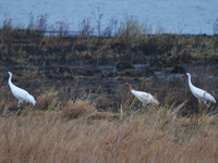W1-10 and her parents at Necedah NWR in mid November before migration